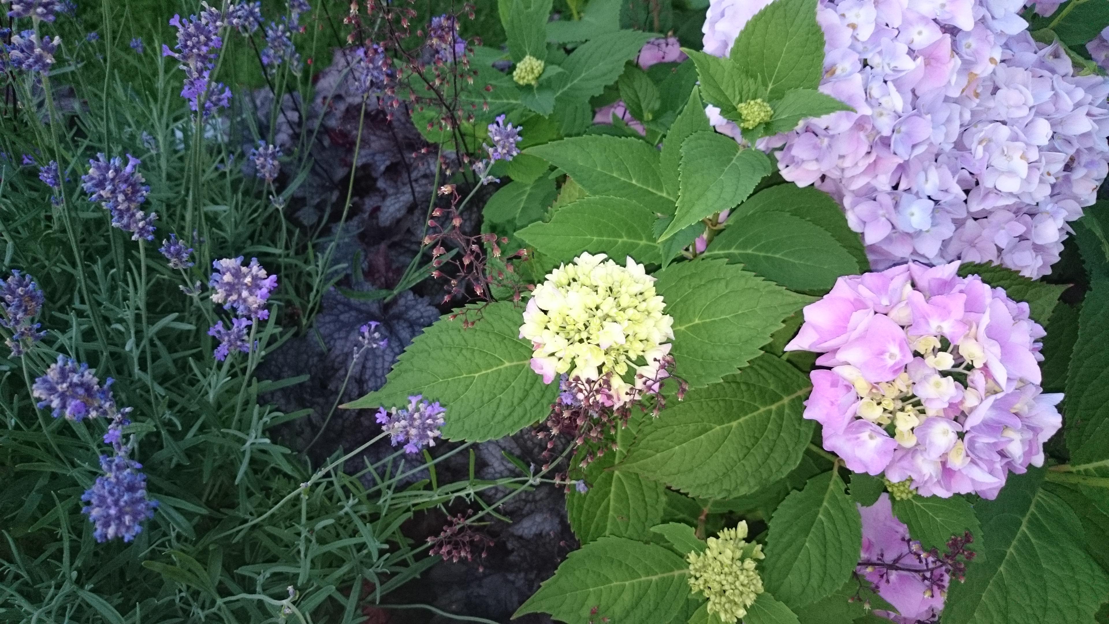 Fin kombination, trädgårdshortensia, alunrot och lavendel