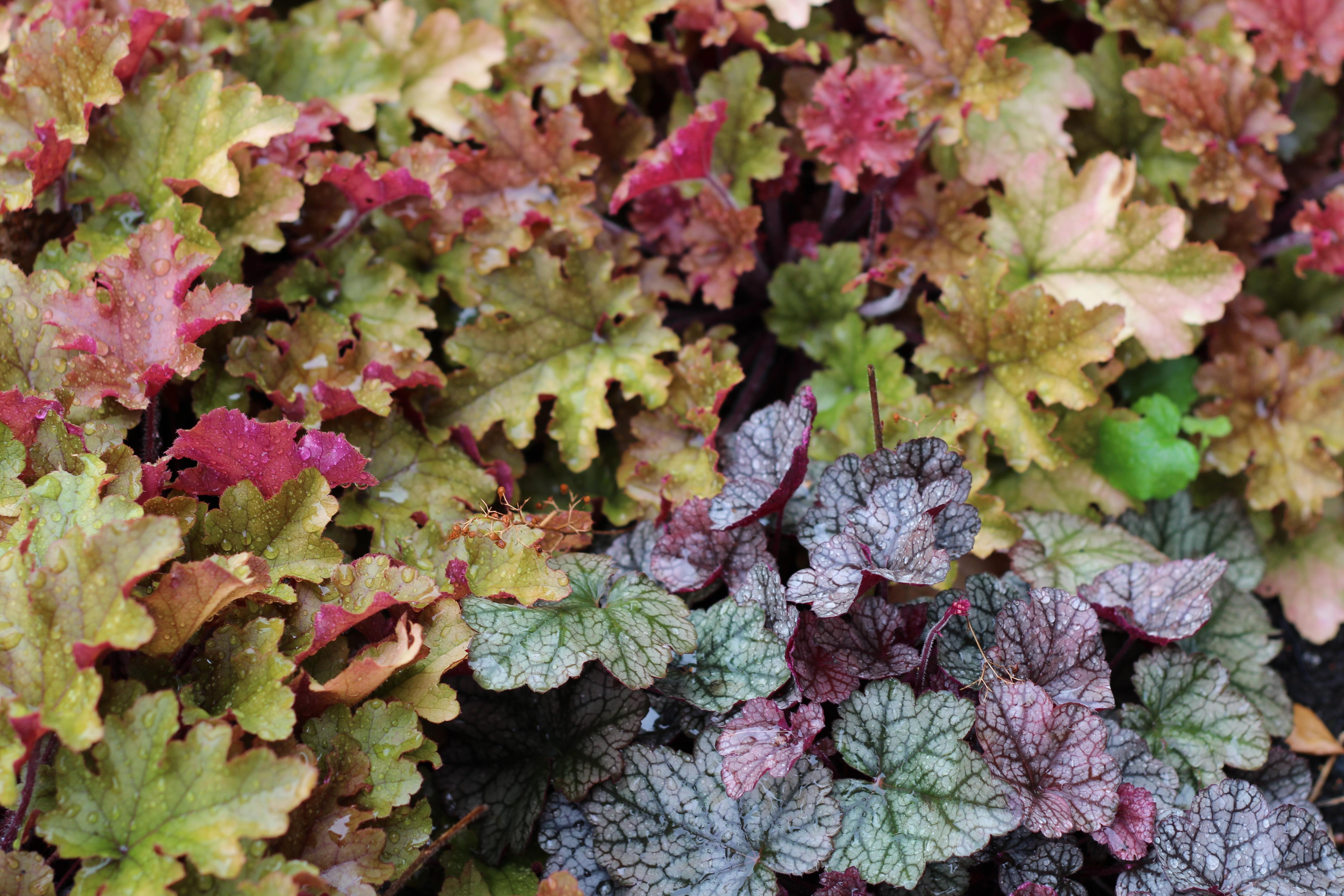 Alunrot finns i många olika färger och sorter.