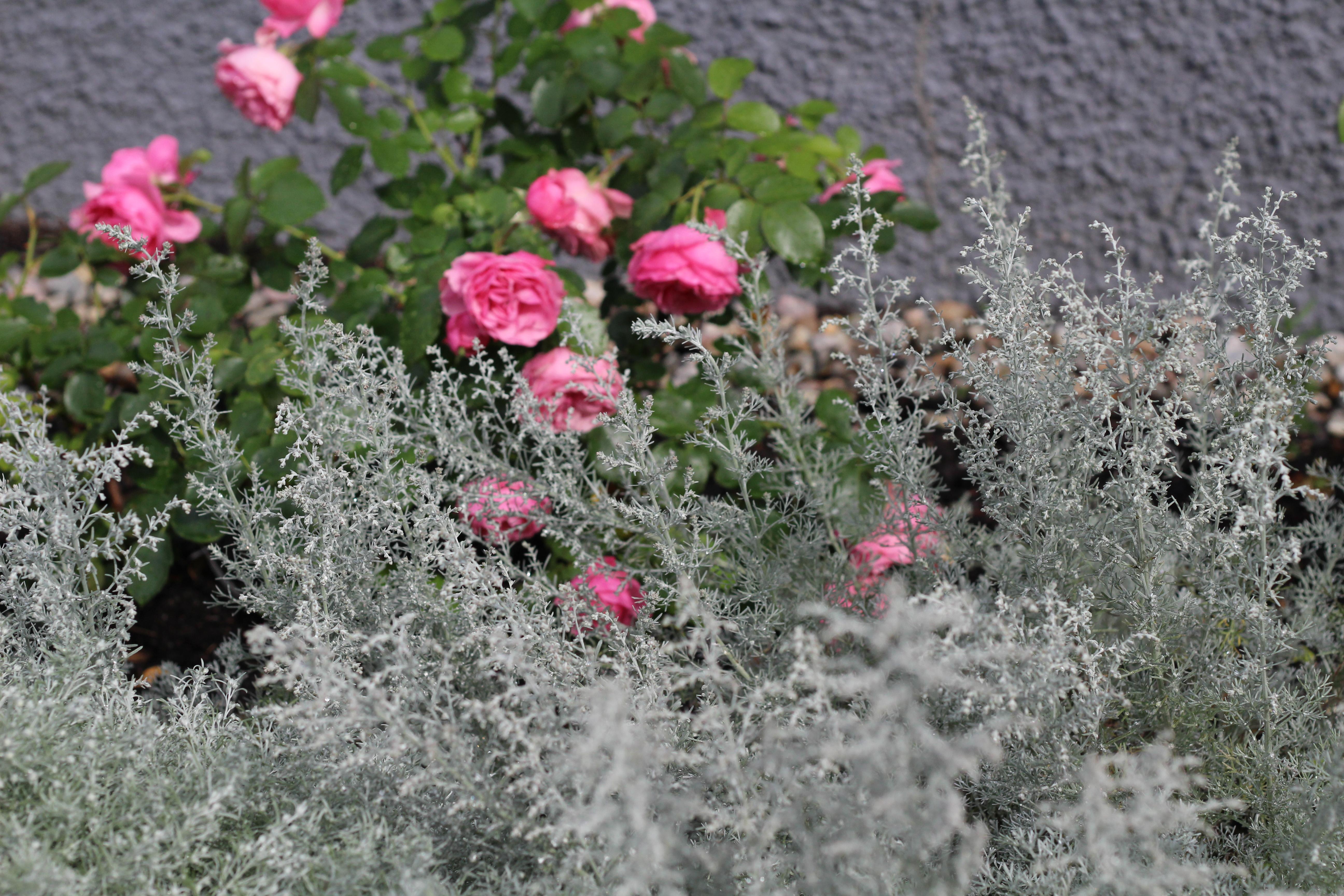 Romantik, rosa rosor och malört.