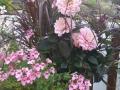 Urna med sommarblommor, dhalia, tvillingsporre och fjäderborstgräs