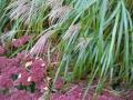 Fin kombination, Japanskt prydnadsgräs och kärleksört