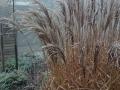 Prydnasgräs är fina året runt, här miscanthus ' Ferner Osten'