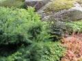 Barrväxter kan vara fina tillsammans med perenner.