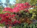 Fina färger, japansk lönn tillsammans med vintergröna barrväxter.