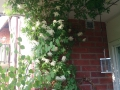 Klematis 'Albina Plena' på balkong